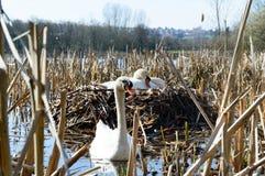 Paires de cygnes sur leur nid Images libres de droits