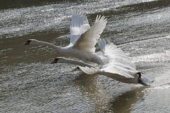Paires de Cygnus adulte Olor de cygnes muets commençant leur vol de ligne de flottaison de rivière Vah, Slovaquie Image stock