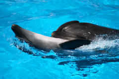 Paires de dauphins Photos libres de droits