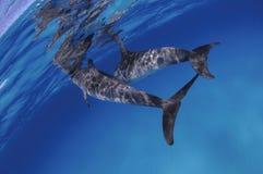 Paires de dauphins mignons nageant sur la surface d'océan Photos libres de droits