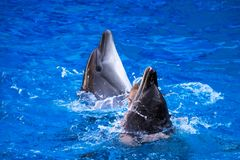 Paires de dauphins nageant dans l'eau bleue Images stock