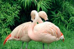 Paires de deux flamants roses Images stock
