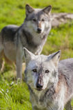 Paires de deux Nord-américain Gray Wolves, Canis Lupus Image libre de droits