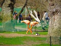 Paires de flamants en parc de zoologie Photographie stock