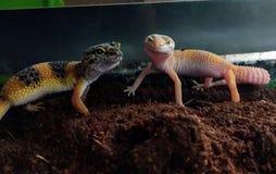 Paires de gecko de léopard image stock