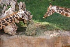 Paires de girafe de Baringo - rothschildii de camelopardalis de Giraffa Photographie stock
