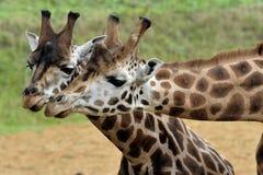Paires de giraffe Photographie stock