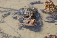 Paires de grenouilles d'élevage en eau peu profonde Image stock