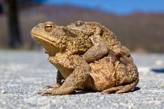 Paires de grenouilles dans la nature Image libre de droits