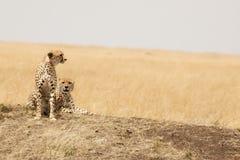 Paires de guépard dans le masai Mara Photo libre de droits
