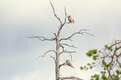 Paires de hiboux barrés pendant la formation des paires Comportement de accouplement dans la forêt de Lappish Images stock
