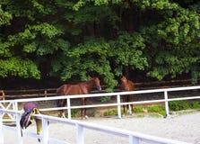 Paires de jeunes chevaux bruns Baisers de chevaux Images libres de droits