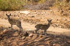Paires de Klipspringers se tenant à côté de la route de gravier en Afrique du Sud, parc de Mapungubwe Images libres de droits