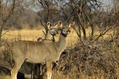 Paires de Kudu d'Africain Image libre de droits