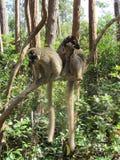 Paires de lémurs Image libre de droits