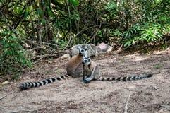 Paires de lémurs anneau-coupés la queue avec leurs longues queues rayées Photographie stock libre de droits