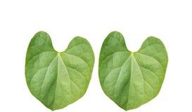 Paires de la feuille tropicale de feuillage vert d'isolement sur les backgrouds blancs photos stock