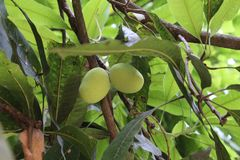 Paires de la mangue deux dans le roi d'arbre du fruit photo libre de droits