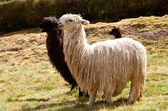 Paires de lamas noirs et blancs avec une chéri photo libre de droits