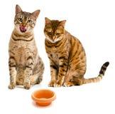 Paires de languettes de lèchement des chats un du Bengale Photographie stock libre de droits