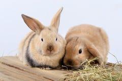Paires de lapins Photo libre de droits