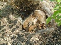 Paires de lapins de bébé dans le nid Photo libre de droits