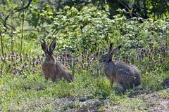 Paires de lièvres pendant la saison d'élevage Image libre de droits
