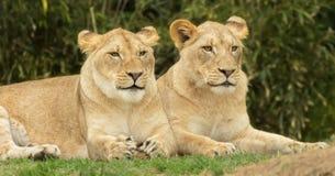 Paires de lionnes Photo libre de droits