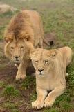 Paires de lions image stock