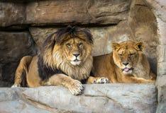Paires de lions se trouvant sur des pierres Photos libres de droits