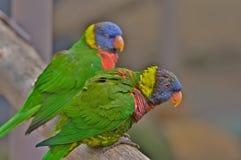 Paires de Lorikeets vert Photographie stock libre de droits