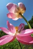 Paires de lotus photo stock