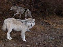 Paires de loup sur la patrouille Photo stock