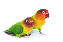 Paires de lovebirds images libres de droits