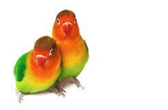 Paires de lovebirds Photos libres de droits