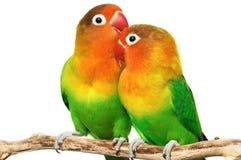 Paires de lovebirds image libre de droits