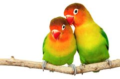 Paires de lovebirds Photos stock