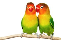 Paires de lovebirds Images stock