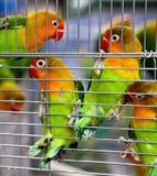 Paires de Lovebirds dans une cage Photographie stock