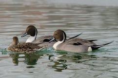 Paires de mâles avec un codon femelle de canard Photographie stock libre de droits