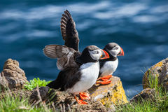 Paires de macareux d'oiseaux sur une roche, Islande Photo stock