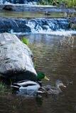 Paires de Mallard sur l'étang avec la cascade images stock