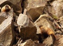 Paires de Marmot parmi des roches Photographie stock libre de droits