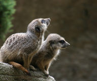 Paires de Meerkats Photos stock
