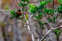 Paires de merles dans un arbre avec les graines rouges images stock