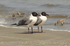 Paires de mouettes riantes sur la plage - la Géorgie photographie stock libre de droits