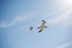 Paires de mouettes volant en ciel au-dessus des eaux de mer Image libre de droits