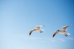 Paires de mouettes volant en ciel au-dessus des eaux de mer Photographie stock