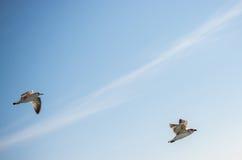 Paires de mouettes volant en ciel au-dessus des eaux de mer Images stock