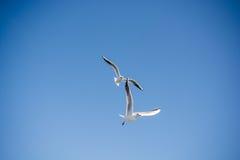 Paires de mouettes volant en ciel au-dessus des eaux de mer Photos stock